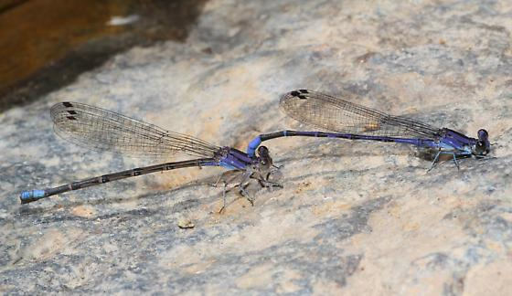 Dancers - Argia plana - male - female