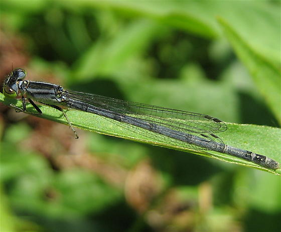 One more damsel... - Ischnura verticalis - female