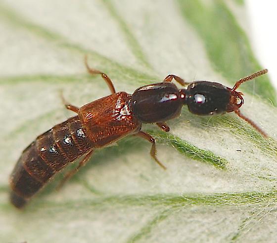 Rove Beetle - Hypnogyra