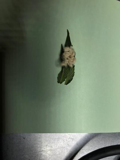 Cluster white fuzzy eggs on hemp leaf
