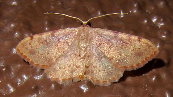 Semaeopus gracilata? - Semaeopus gracilata