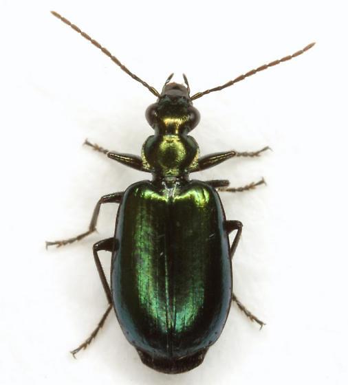 Lebia viridis Say - Lebia viridis