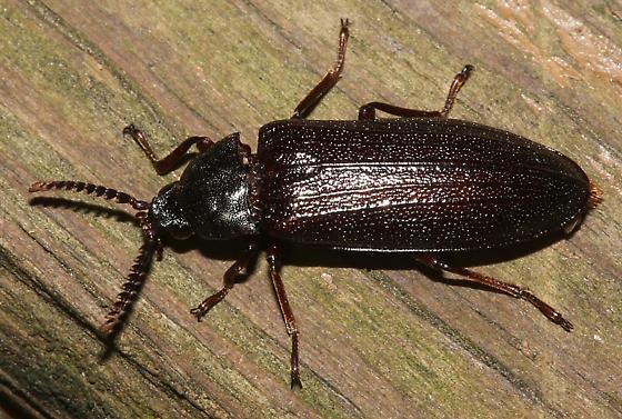 Beetle - Zenoa picea