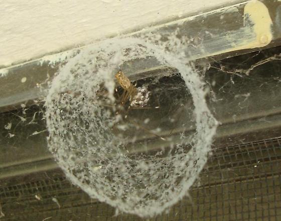 Round web w/brown spider white clusters on it  - Holocnemus pluchei