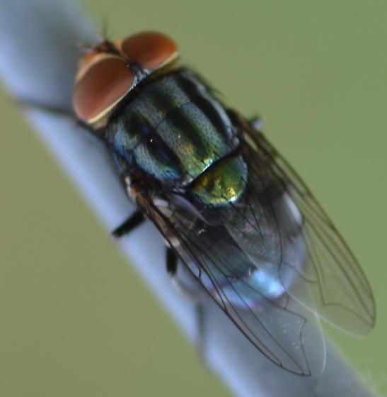 Cochliomyia? - Cochliomyia macellaria