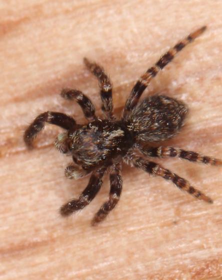 Tiny Jumper - Pseudeuophrys erratica