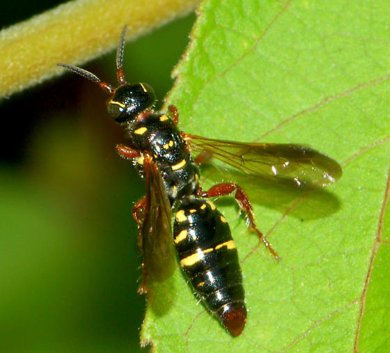 Unknown Hymenoptera - Myzinum dubiosum - female