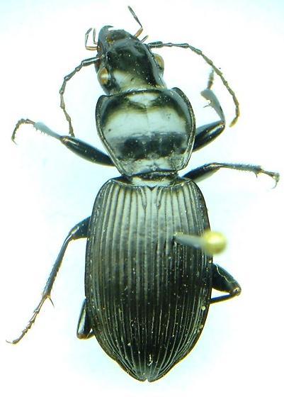 Pterostichus - Pterostichus relictus
