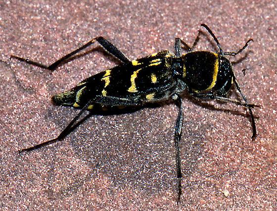 Xtlotrechus maybe longitarsis? - Xylotrechus
