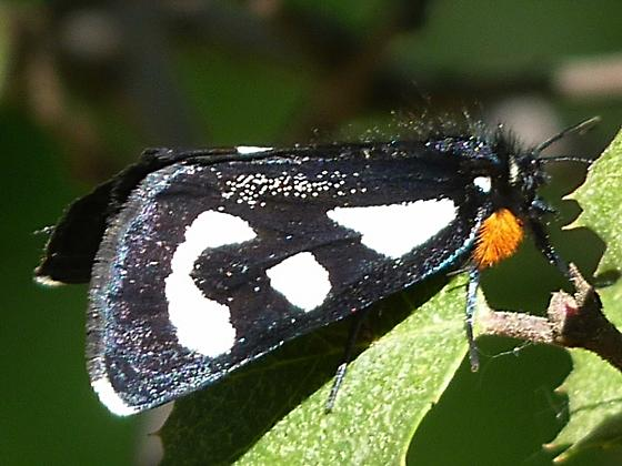 Alypia - Alypia mariposa