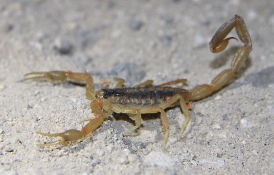 Striped Bark Scorpion - Centruroides vittatus