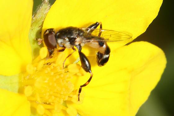 Syritta pipiens (wasp mimic fly) - Syritta pipiens