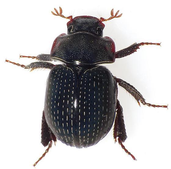 Dung Beetle? - Germarostes globosus