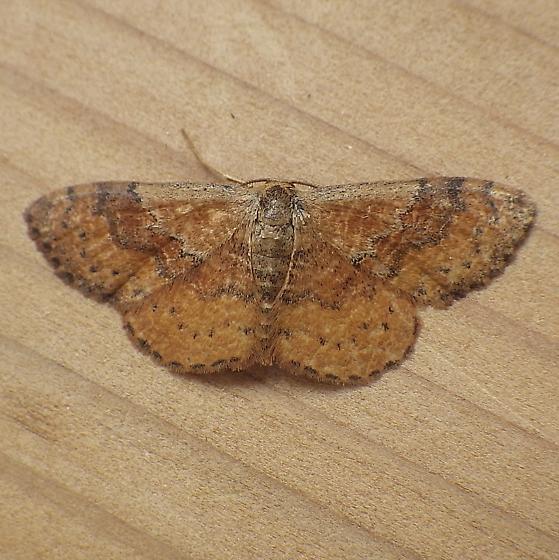 Geometridae: Leptostales ferruminaria - Leptostales ferruminaria