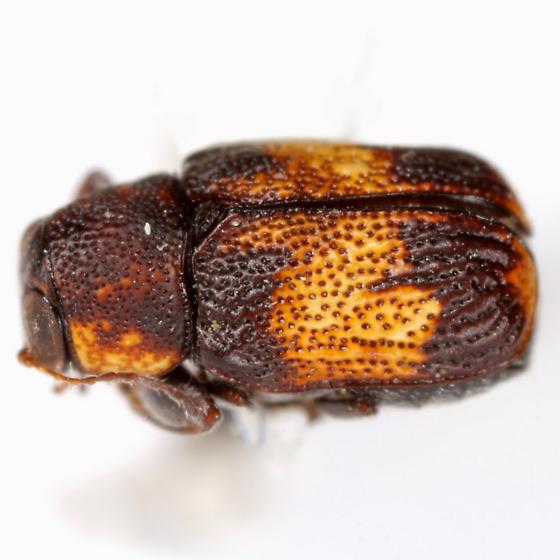Pachybrachis subfasciatus (J. E. LeConte) - Pachybrachis subfasciatus