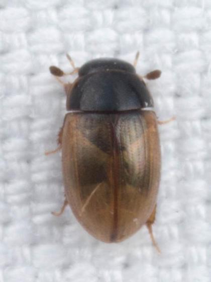 Megasternini - Cercyon quisquilius