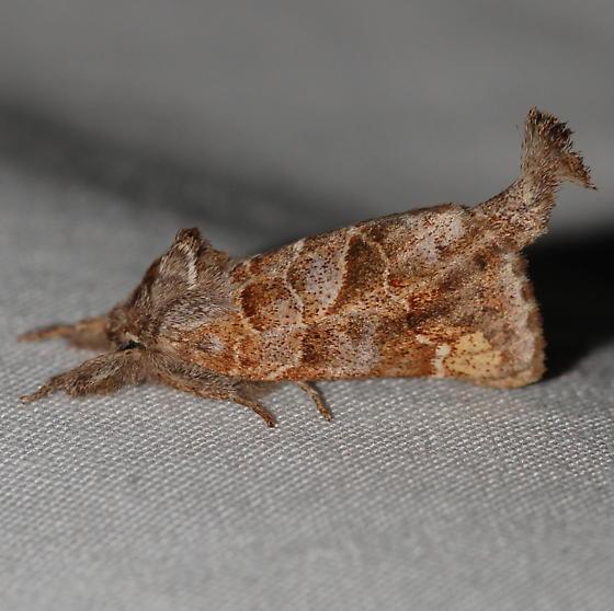 Noctuoid - Clostera strigosa