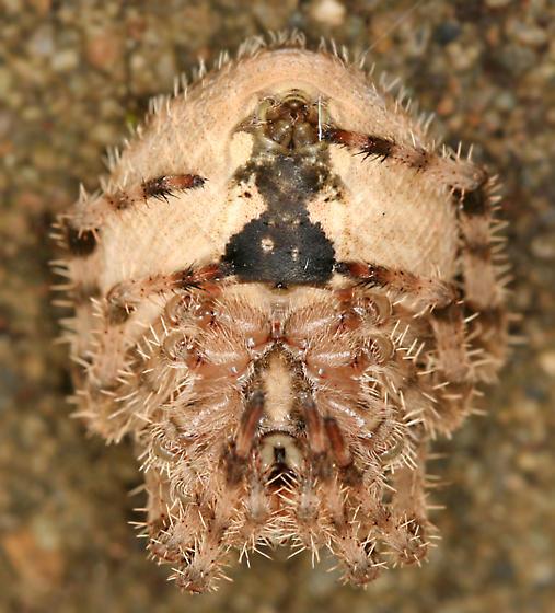 Cat-faced Spider - Araneus gemmoides - female