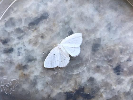 White geometer moth (???) - Eudeilinia herminiata