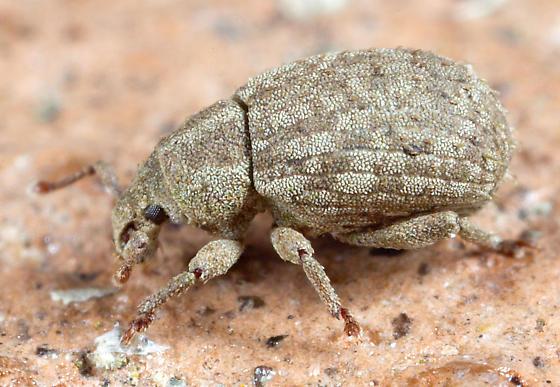 Weevil ? - Romualdius scaber