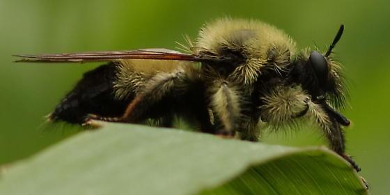 Bee mimic 1 - Laphria sacrator - female