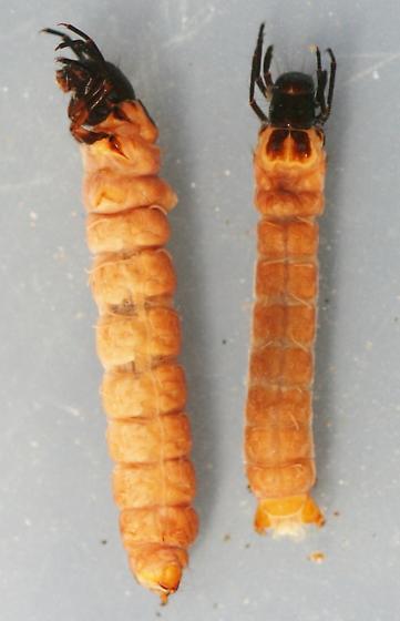 Heteroplectron californicum - voucher specimens, in alcohol - Heteroplectron californicum
