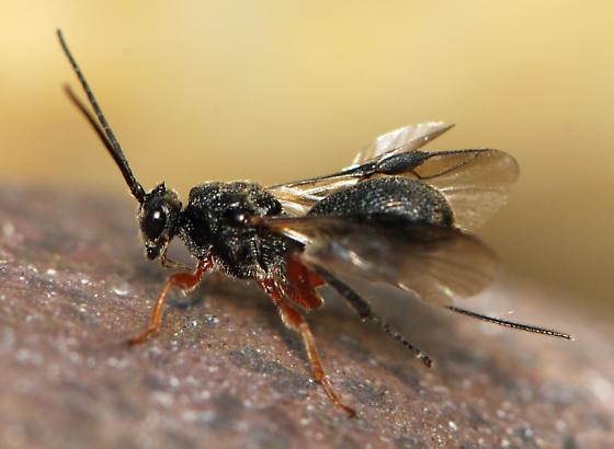 Braconid - Sigalphinae - Urosigalphus - female