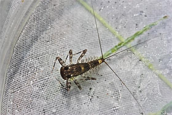 Heptageniidae, Heptagenia marginalis - Heptagenia marginalis