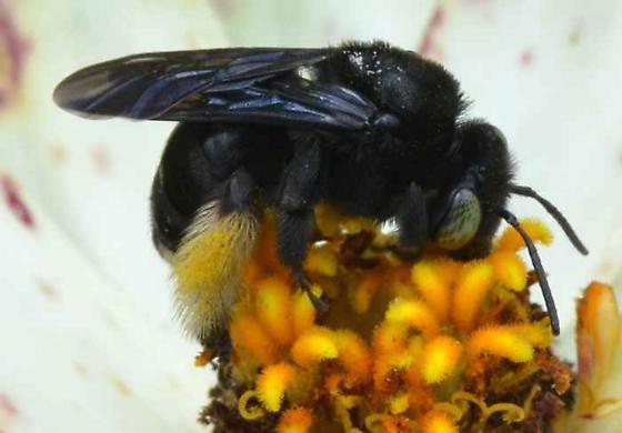 ? - Melissodes bimaculatus