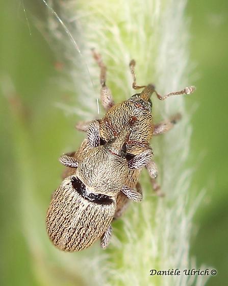 Curculionoidea - Tychius