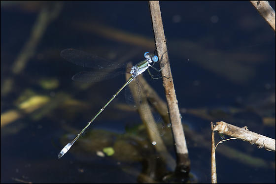 Chalky Spreadwing? - Lestes forficula - male