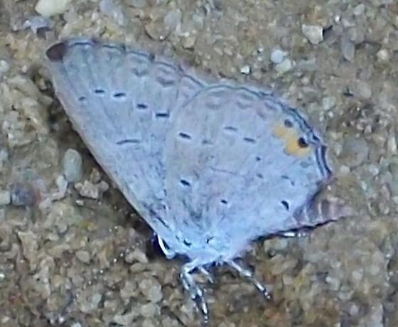 Eastern tailed blue - Cupido comyntas