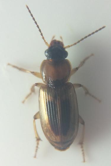 Stenolophus comma - Stenolophus