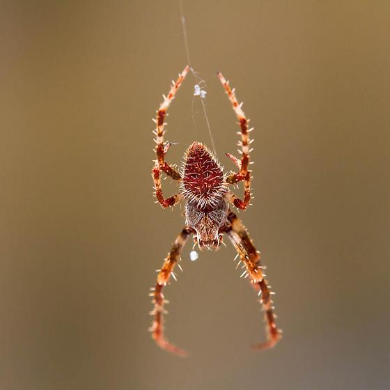 Orange Hairy spider - Eriophora ravilla
