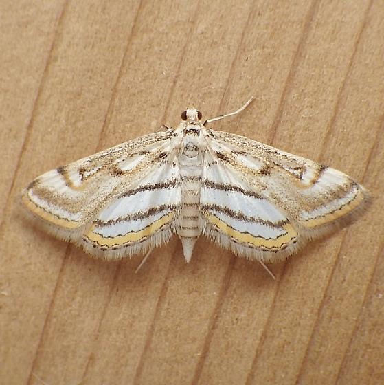 Crambidae: Parapoynx badiusalis - Parapoynx badiusalis
