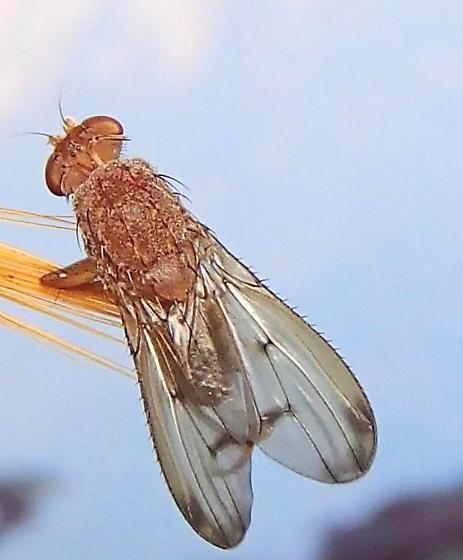 Fly - Suillia quinquepunctata - male