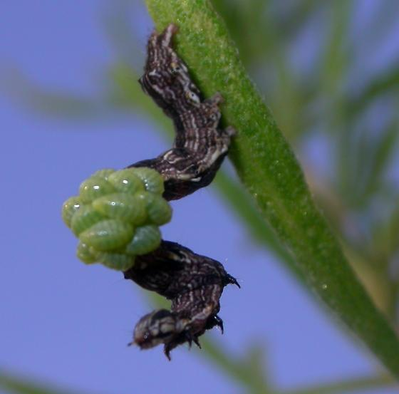 Caterpillar with parasitoids - Euplectrus