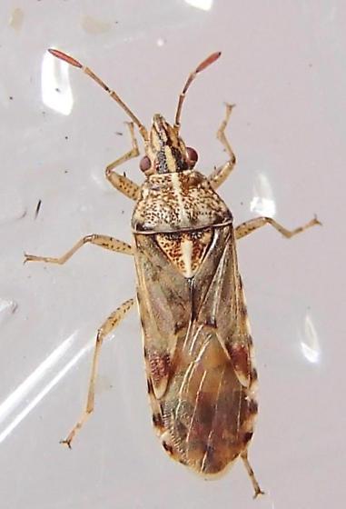 Plant bug - Belonochilus numenius