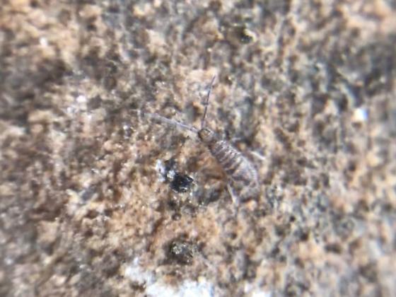 Entomobrya 4 - Entomobrya multifasciata