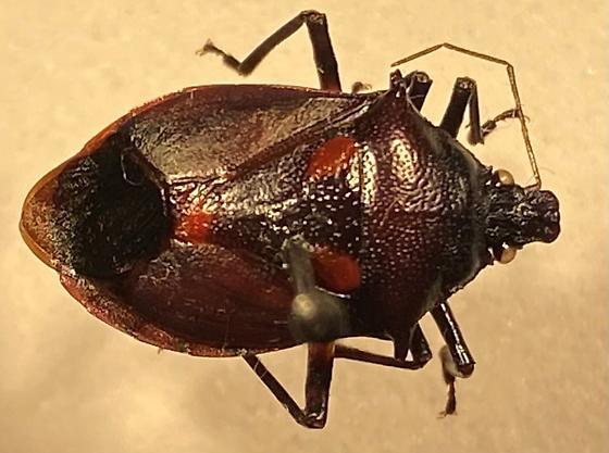 Stink bug - Euthyrhynchus floridanus