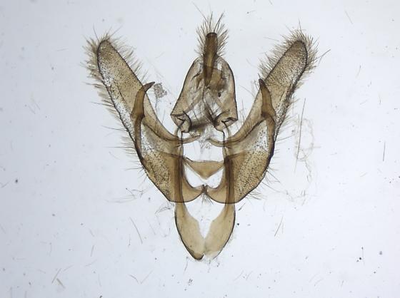 Allotria elonympha? - Pseudanarta flavidens - male