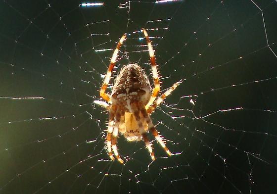 2nd Picture - Araneus diadematus