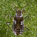 Smaller Water Strider - Microvelia