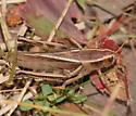 Striped grasshopper - Melanoplus bivittatus - female