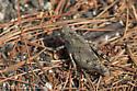 Brown grasshopper - Dissosteira carolina