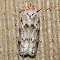 Dotted Anteotricha Moth - Hodges #1019 - Antaeotricha humilis