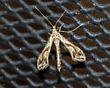 I would appreciate an ID for this plume moth. - Lineodes integra