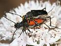 Dimorphic Flower Longhorn - Anastrangalia laetifica - male - female