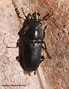 Beetle - Platycerus quercus - male