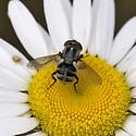 Tachinid Fly - Gymnoclytia occidua - female